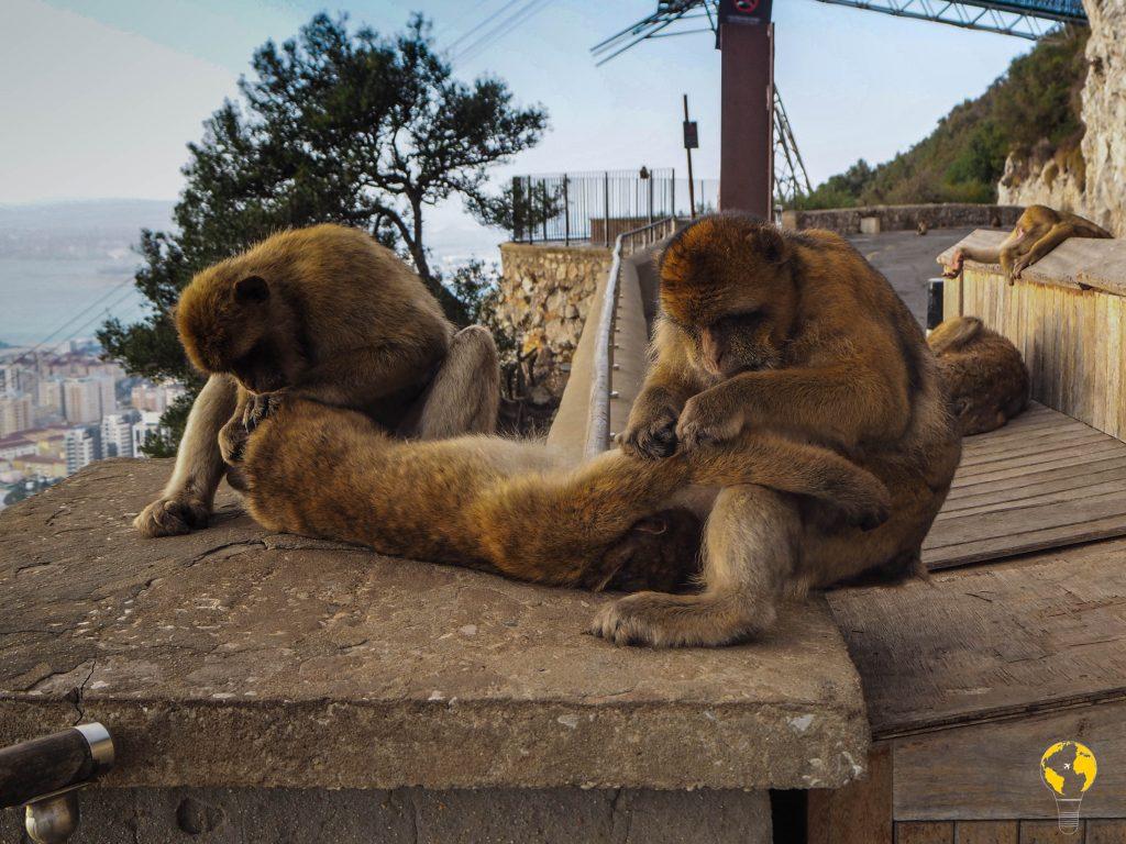 Macachi a Gibilterra