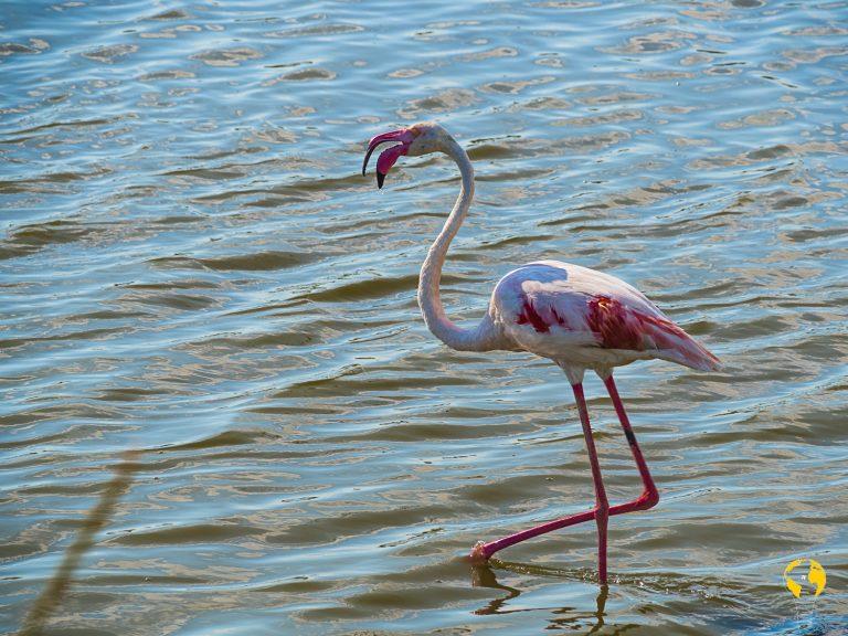 Fenicottero rosa della Camargue